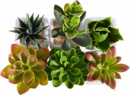 Zestaw sześciu małych sukulentów w doniczkach